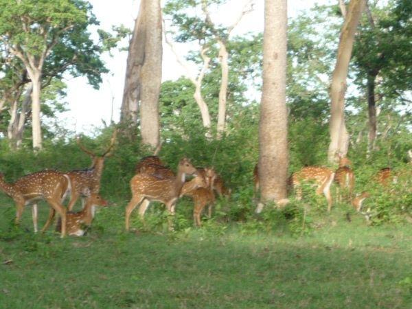 Deer in forests