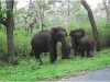 Elephants in Mudumalai