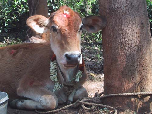 Calf in Gouri Farm